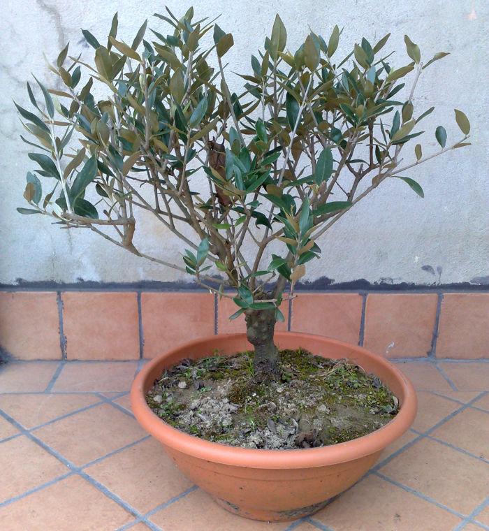 Regalati un ulivo simbolo di pace uliveti e olio for Bonsai di ulivo