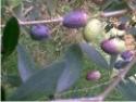 olive e raccolto di annata
