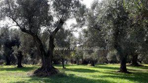 Adotta un oliveto
