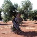 potatura ulivo secolare