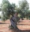Albero ulivo Ostuni