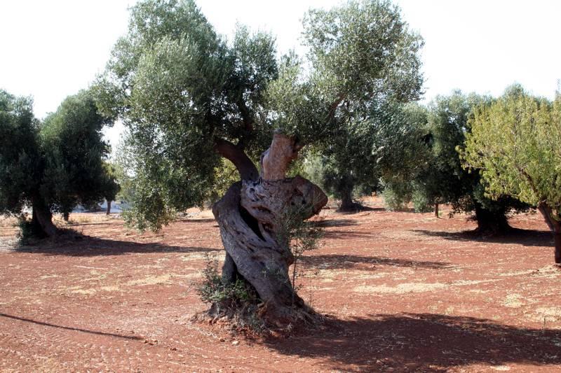 Potatura olivo, come e quando potare l'ulivo