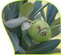 mosca-olive_p.jpg