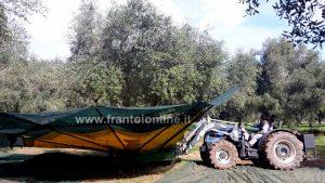 Raccolta meccanica olive, ombrelli intercettatori