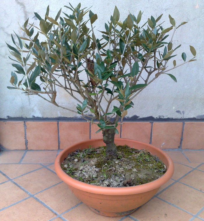 Regalati un ulivo simbolo di pace frantoi on line for Vendita on line bonsai