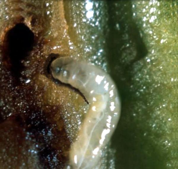 larva mosca olivo