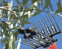 Abbacchiatore, pettini per olive