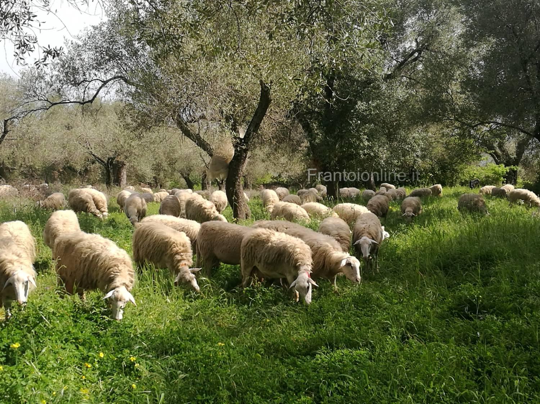 Salubrità degli oliveti e qualità del prodotto