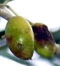 danni mosca dell'olivo