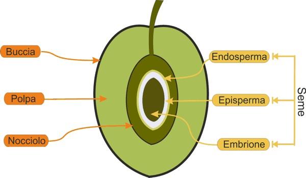 Oliva, frutto generoso che ci dona un alimento salutistico