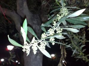 fioritura-olivo