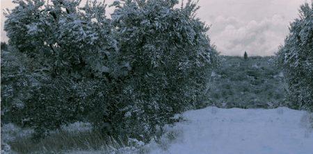 Ulivo Protezione Dal Gelo Come Proteggere Lolivo Dal Gelo