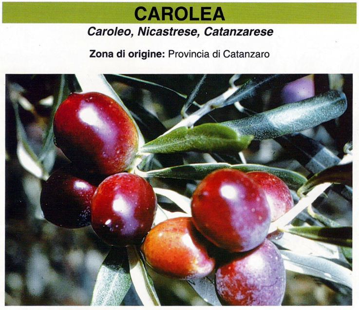 Vivai piante olivo