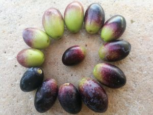 Maturazione olive da olio, quando raccogliere le olive