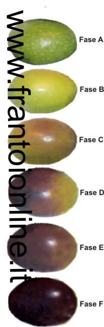 grado di invaiatura maturazione olive