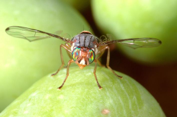 Mosca olearia, lotta biologica alla mosca dell'olivo