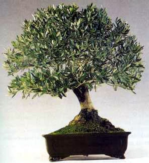 bonsai-ulivo