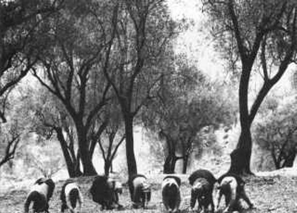 Foto di musei oleari foto di antichi frantoi e for Raccolta olive periodo