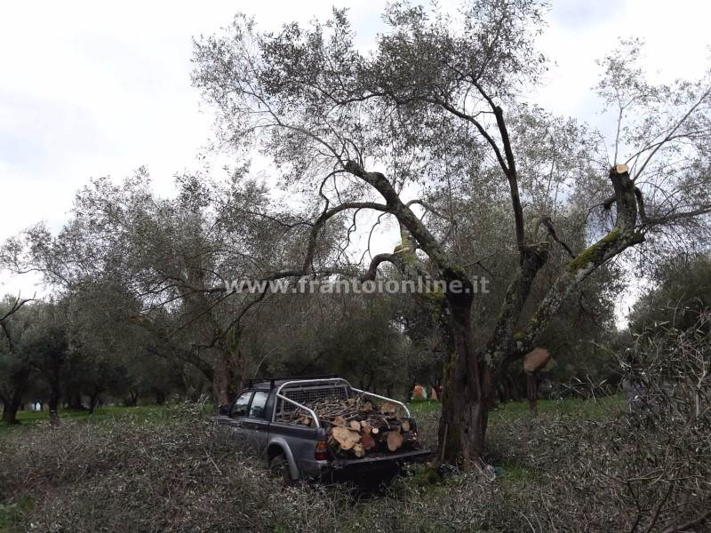 potatura-olivo
