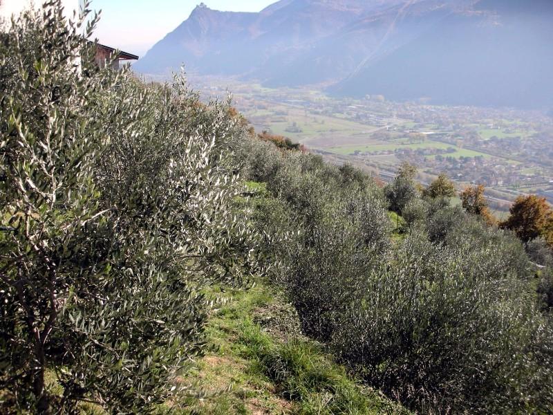 oliveto-alpino-piemonte