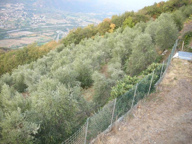 oliveto-alpino-roceja-attiva