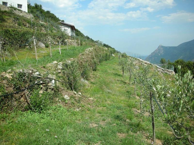 oliveto-sperimentale-alpino-roceja-attiva