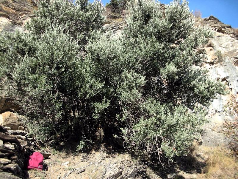 olivo-nelle-alpi