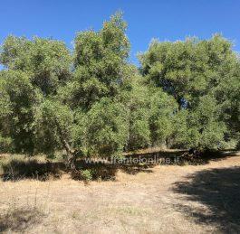 Perché consumare più olio d'oliva può aiutare a combattere i cambiamenti climatici