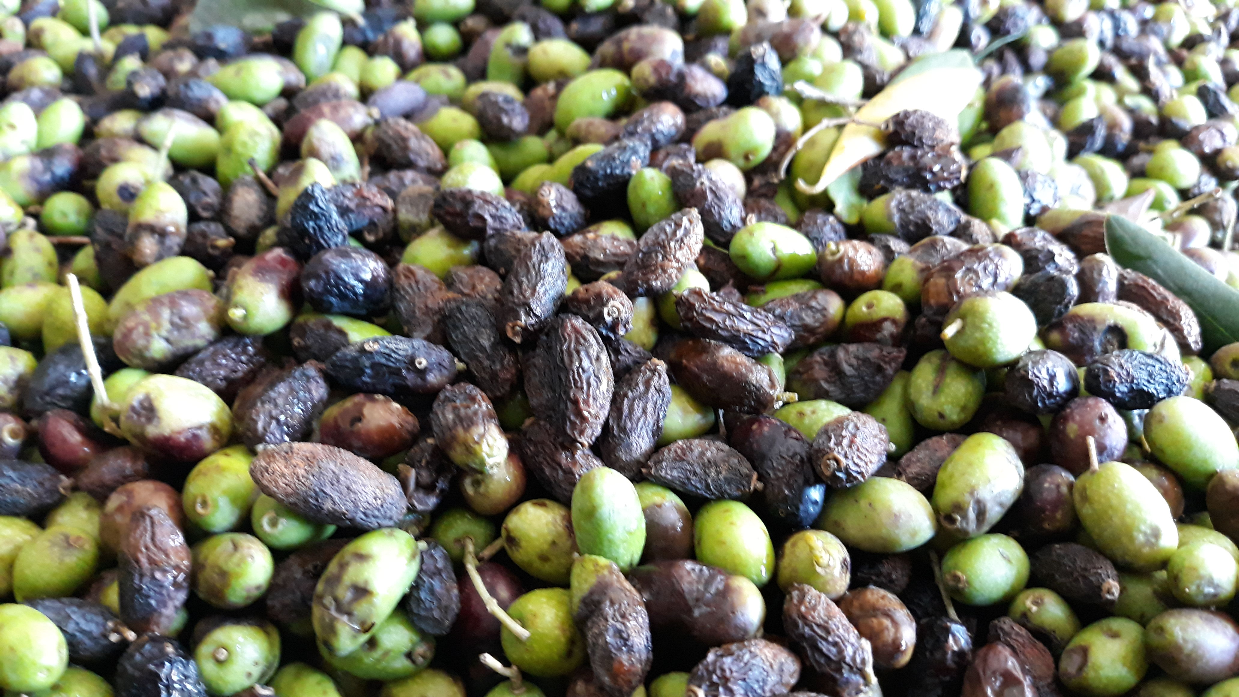 Il Ritorno della Lebbra delle Olive