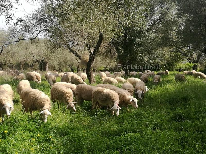 concimazione-olivo-pecore