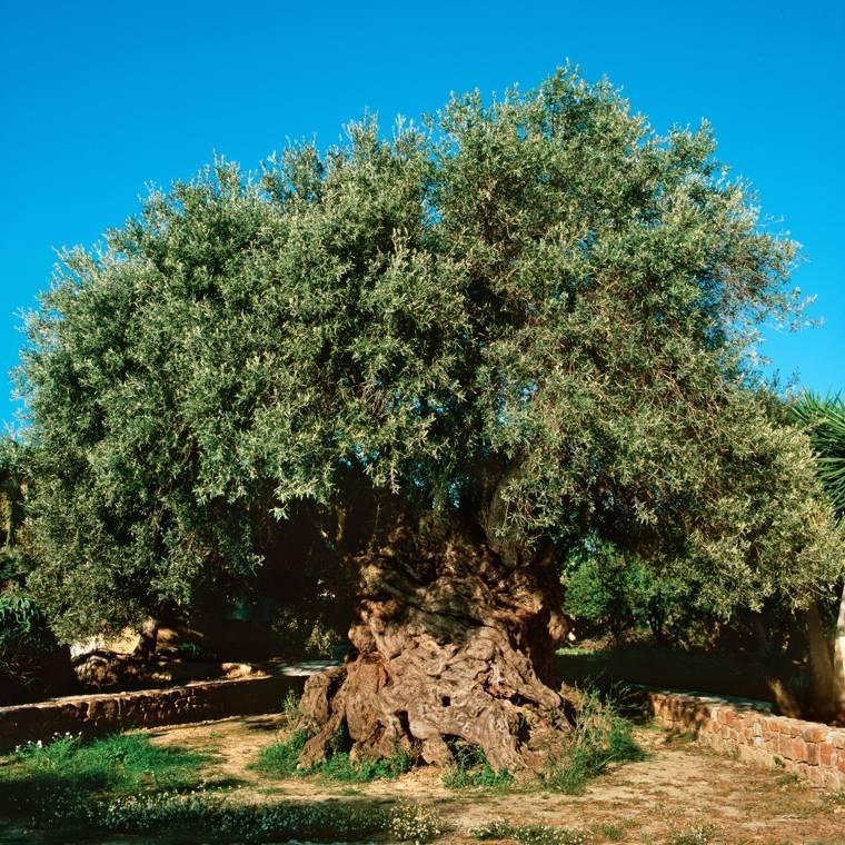 ulivo-milleanario-Vouves-Creta