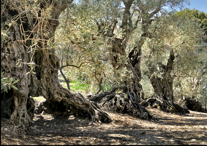The-Sisters-Olive-Trees-of-Noah-Bchaaleh