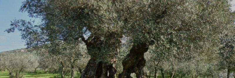 ulivo-sante-miliano