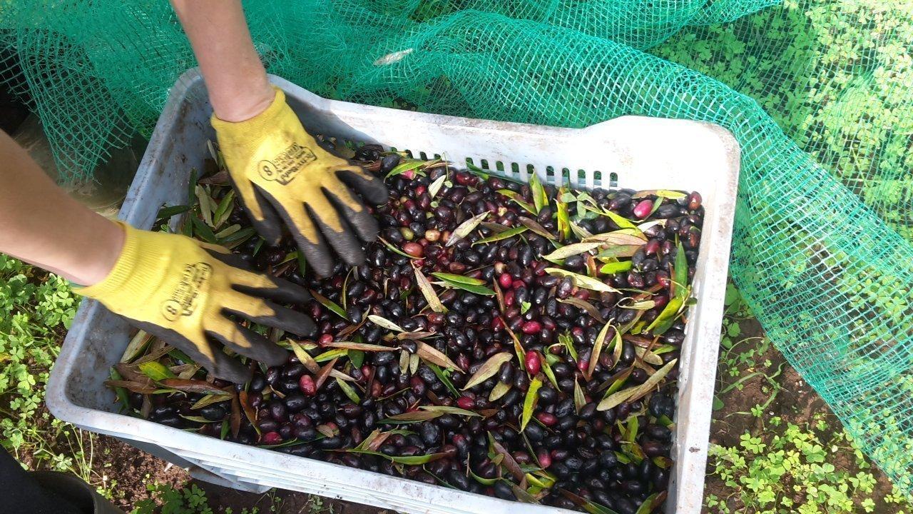 Crollo del prezzo dell'olio e delle olive: il Presidente Emiliano scrive al Ministro Bellanova